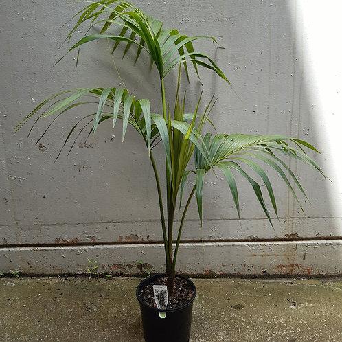 Kentia Palm/Howea forsteriana in 20cm pot