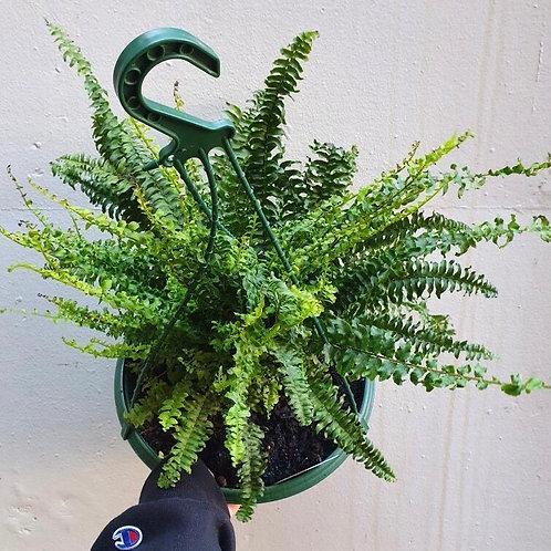 Boston Fern/Nephrolepsis exaltata in 27cm hanging pot