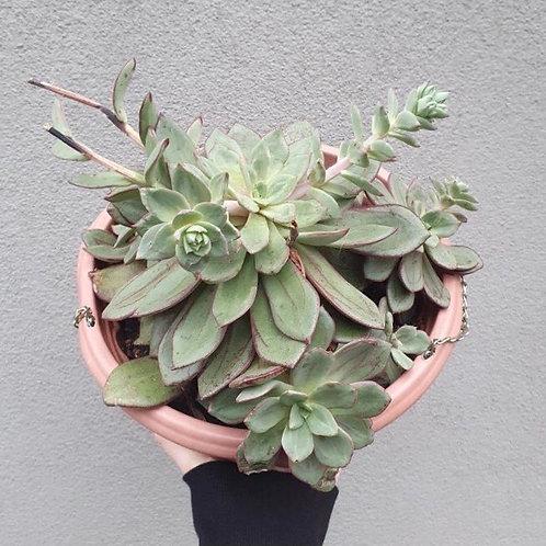 Echeveria species in 20cm hanging pot