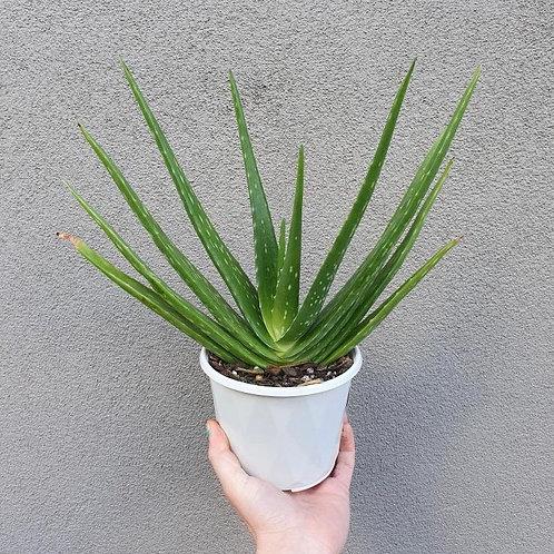 Aloe vera in 13cm pot