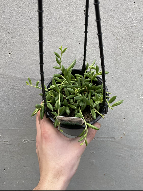 String of Bananas/Senecio rowleyanus in 15cm hanging pot