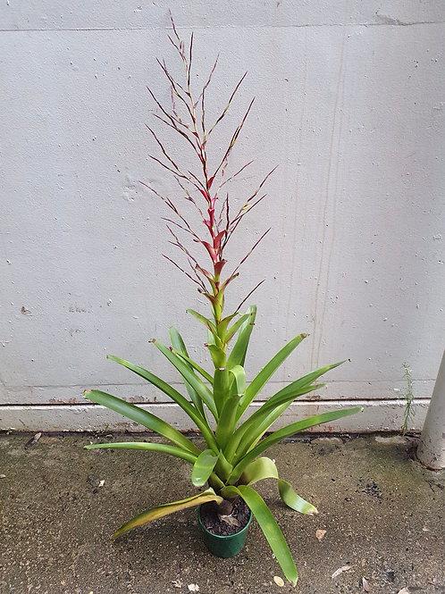 Bromeliad flowering in 16cm pot