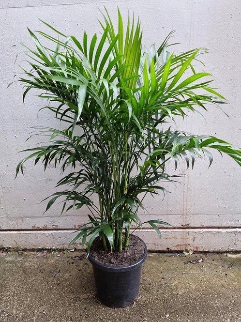 Cascade Palm/Chamaedorea atrovirens  in 30cm pot