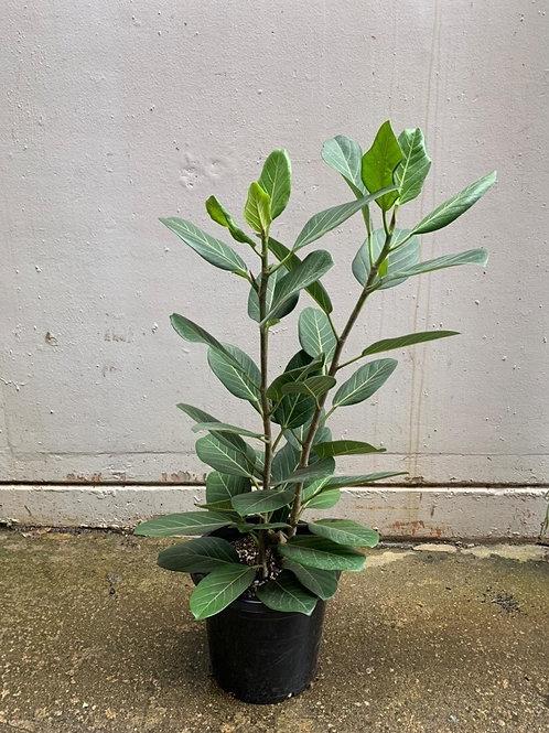 Banyan Fig/Ficus benghalensis 'Audrey' in 35cm pot