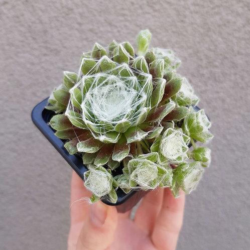 Sempervivum arachnoideum in 7cm pot