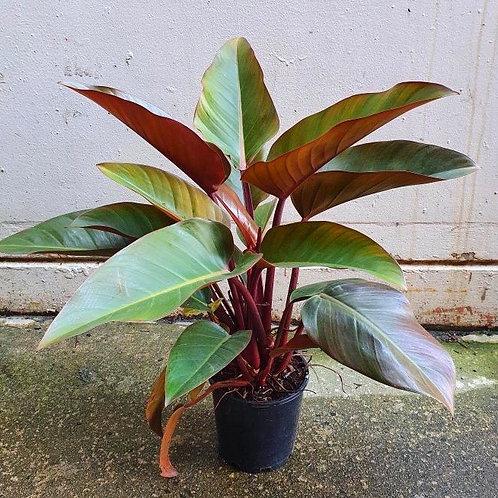 Philodendron 'Rojo Congo' in 20cm pot
