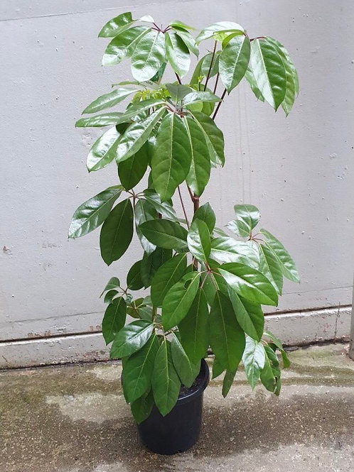 Umbrella tree/Schefflera amate in 30cm pot
