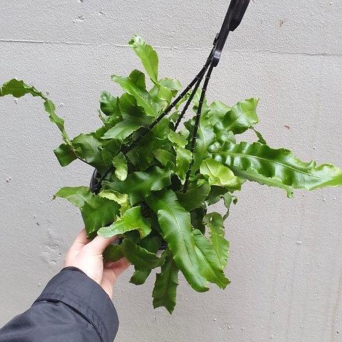 Asplenium australasicum in 19cm hanging pot