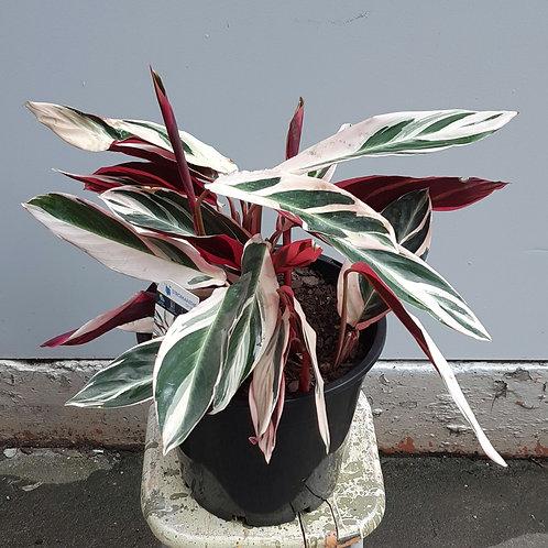Stromanthe 'Tricolour' in 25cm pot