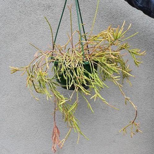 Rhipsalis micrantha in 20cm hanging pot