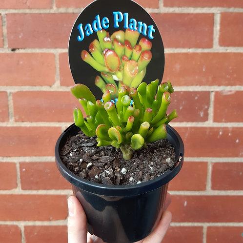 Crassula ovata 'Gollum' in 13cm pot