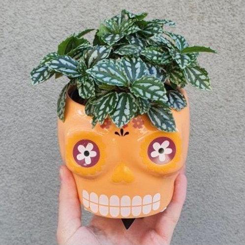 Aluminium Plant/Pilea cadieri in Skull Pot