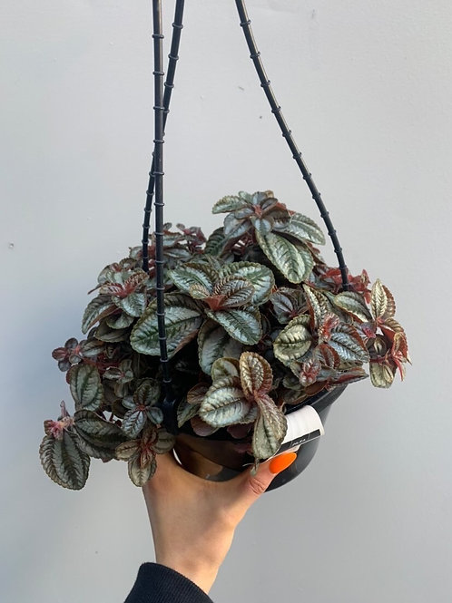 Pilea involucrata 'Norfolk' in 18cm hanging basket