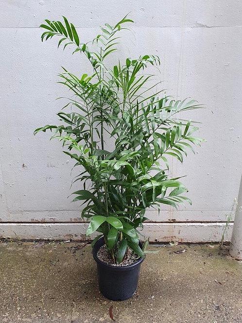 Bamboo Palm/Chamaedorea seifrizii in 30cm pot