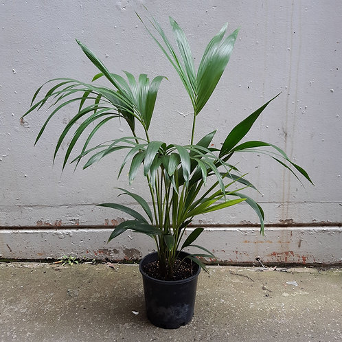 Kentia Palm in 20cm pot