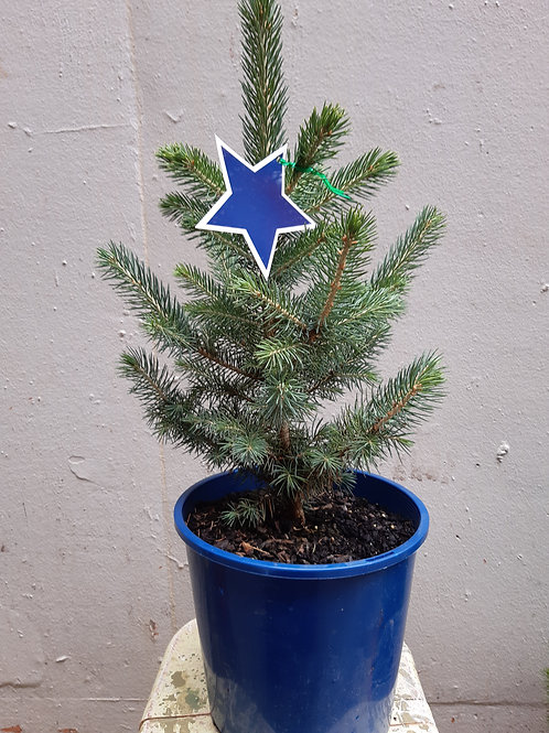 Picea glauca (Christmas Tree) in 25cm pot
