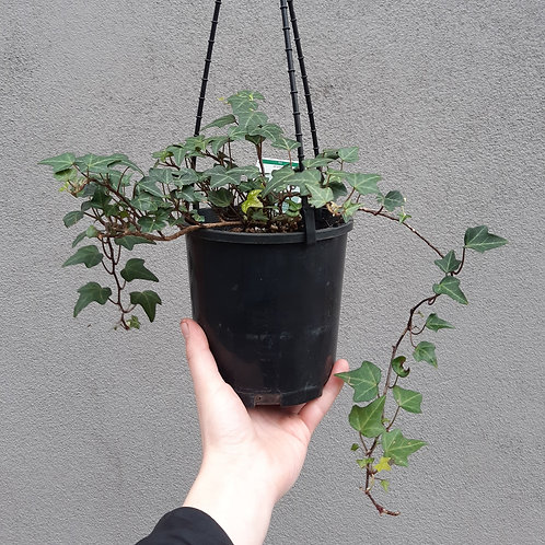 Hedera helix ivy in 14cm hanging pot