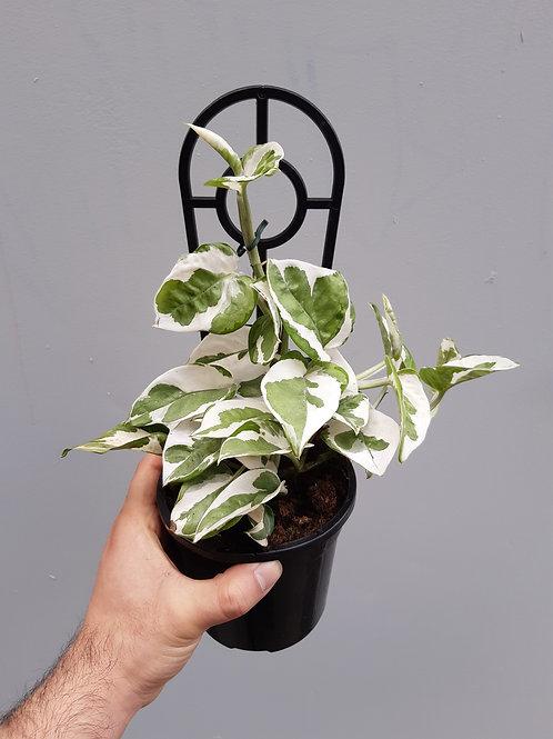Epipremnum aureum 'Snow Queen' in 12cm pot
