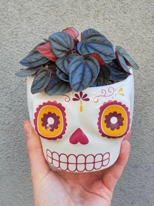 Peperomia 'Mendoza' in Coloured Skull Pot