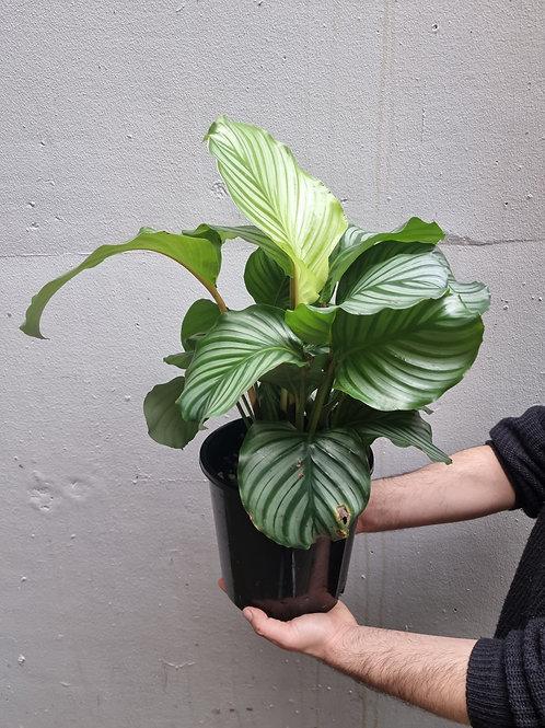 Calathea 'Orbifolia' in 20cm pot