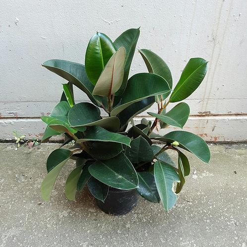 Rubber Tree/Ficus elastica 'Robusta' in 25cm pot