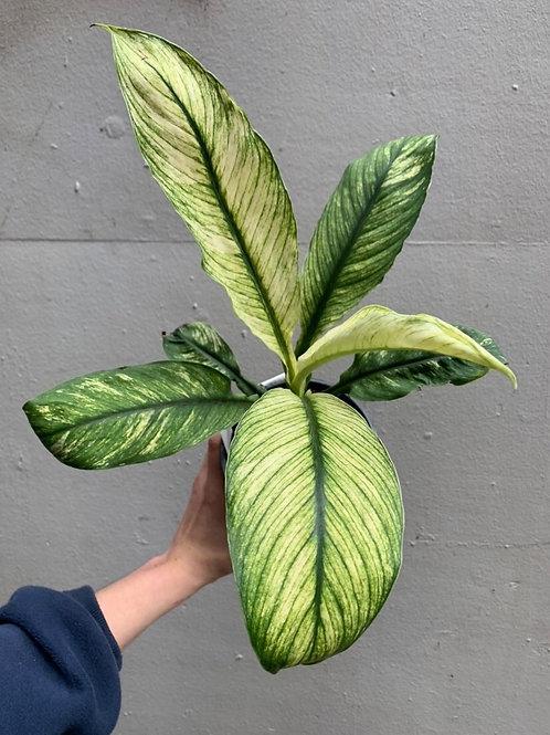 Spathiphyllum 'Jessica' in 13cm pot