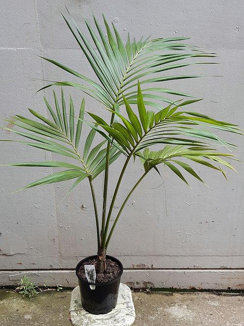 Kentia Palm in 20cm pot