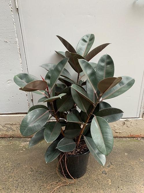 Burgundy rubber tree/ficus elastica in 30cm pot