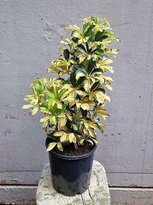 Variegated Dwarf Umbrella Tree/Schefflera 'Jacqueline' in 20cm pot