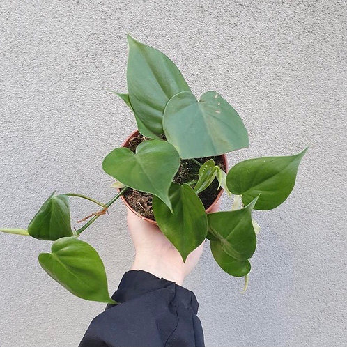 Heart Leaf Philodendron/Philodendron cordatum in 12cm pot