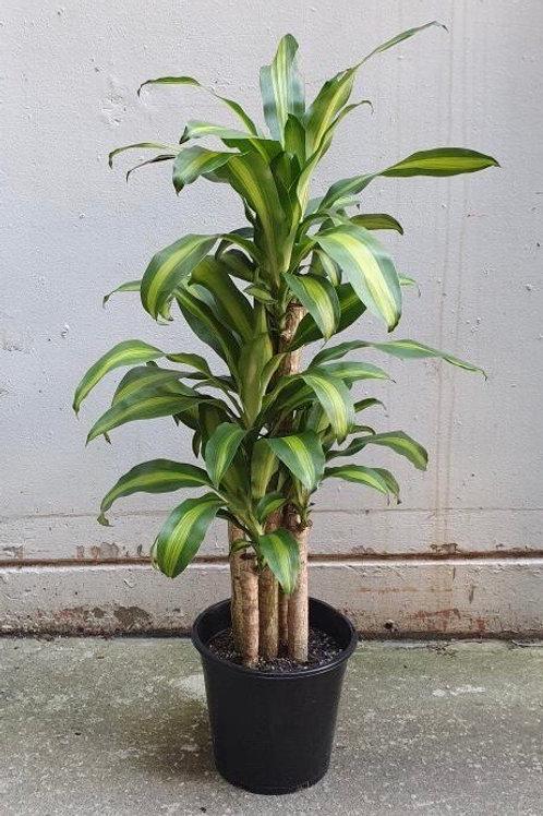 Happy Plant/Dracaena fragrans in 25cm pot