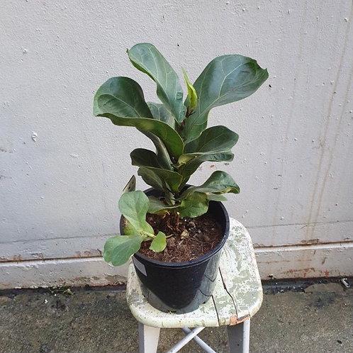 Bambino Fiddle Leaf/Ficus lyrata in 20cm pot