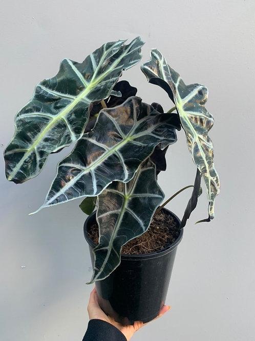 Alocasia 'Amazonica' in 18cm pot
