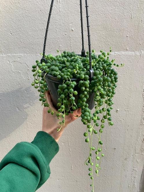 String of Pearls/Senecio rowleyanus in 16cm hanging basket