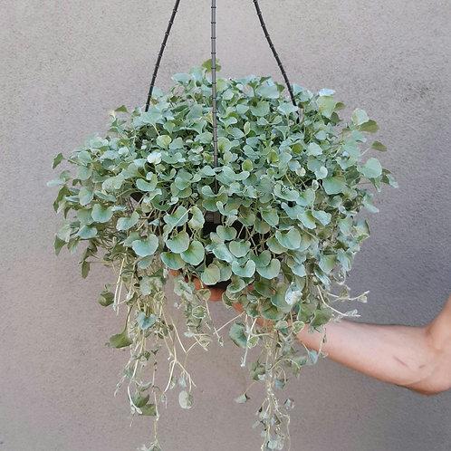 Dichondra 'Silver Falls' in 27cm hanging pot