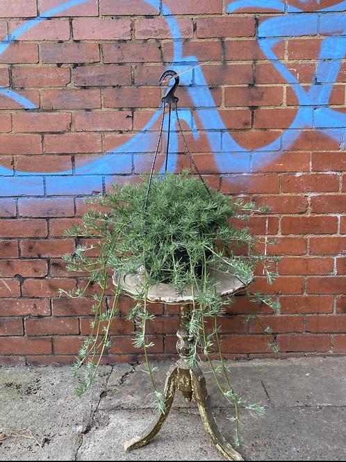 Lotus berthelotii 'Trailblazer Red' in 27cm hanging basket