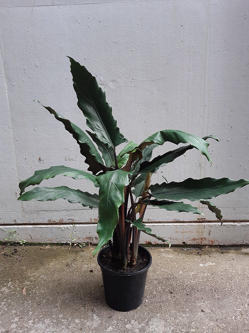 Alocasia lauterbachiana in 25cm pot