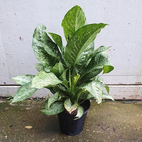 Dieffenbachia 'Memoria Corsii' in 25cm pot