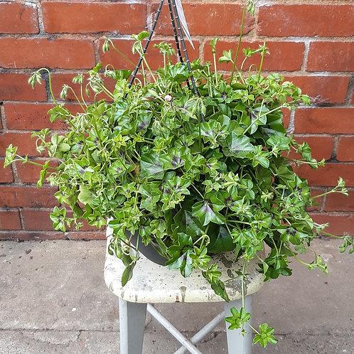 Ivy Geranium/Pelargonium peltatum in 27cm hanging pot