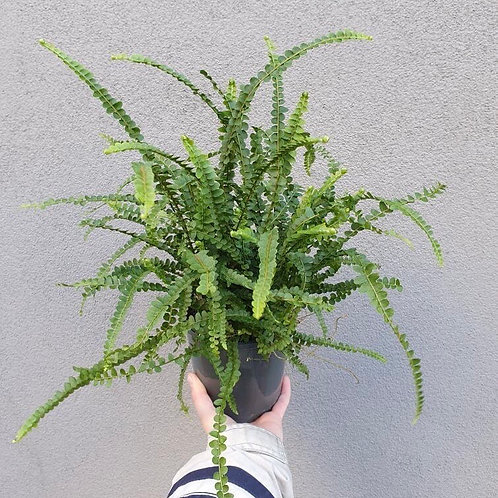 Duffii Fern/Nephrolepsis cordifolia in 14cm pot