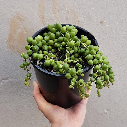 String of Pearls/Senecio rowleyanus in 15cm pot