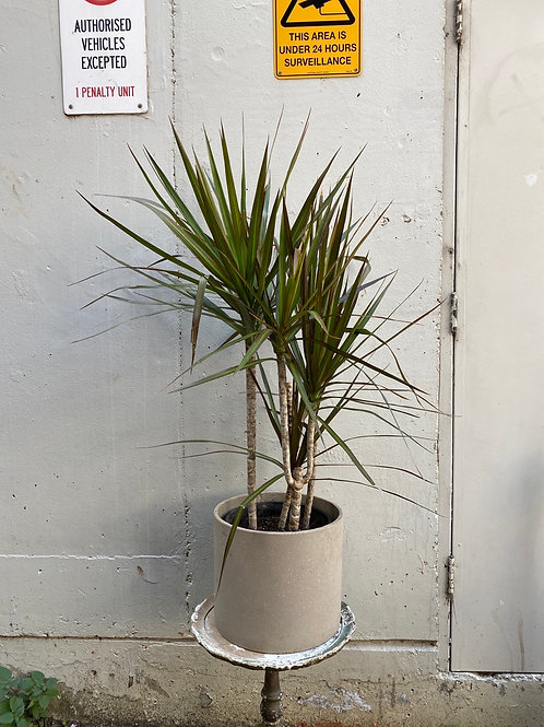 Dracaena marginata in Beige Concrete Pot 28cm