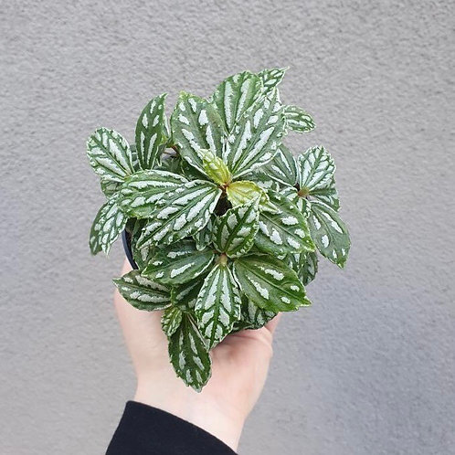 Aluminium Plant/Pilea cadieri in 10cm pot