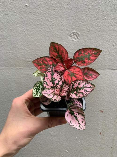 Hypoestes Mix in 75mm pot