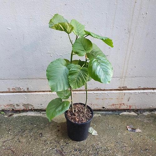 Ficus umbellata in 17cm pot