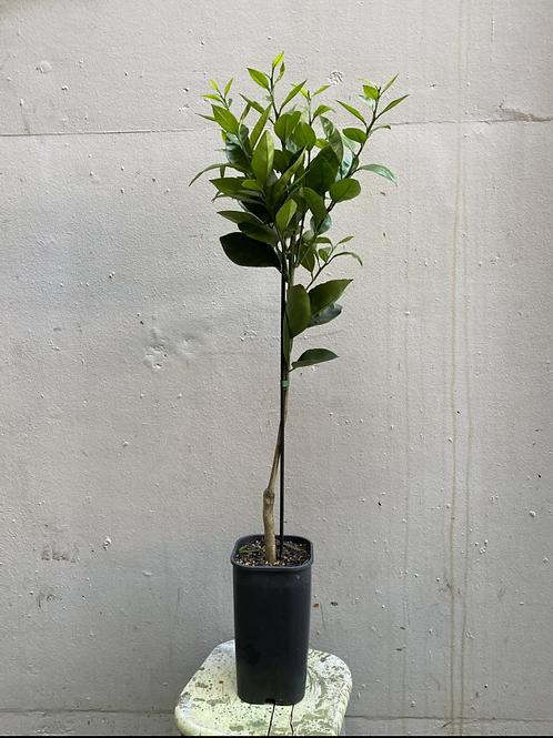 Washington Grafted Orange Navel Tree/Citrus sinesis in 15cm square pot