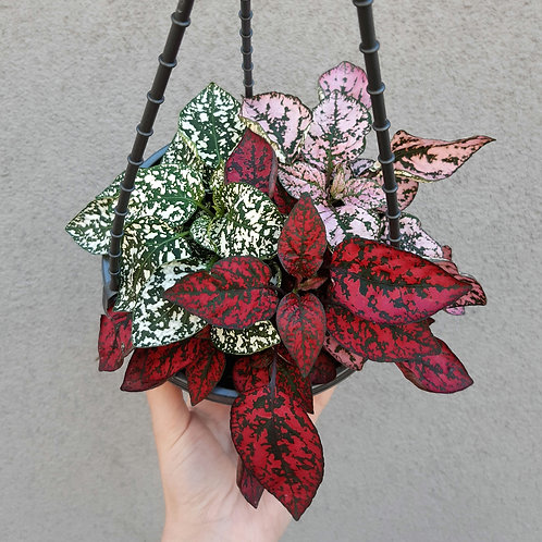 Hypoestes mixed in 15cm hanging pot