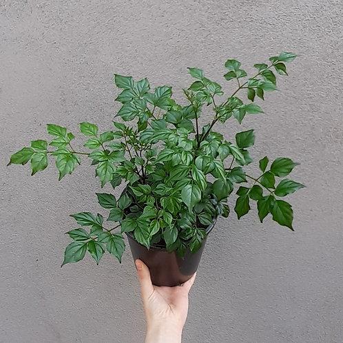 China Doll/Radermachera sinica in 17cm pot