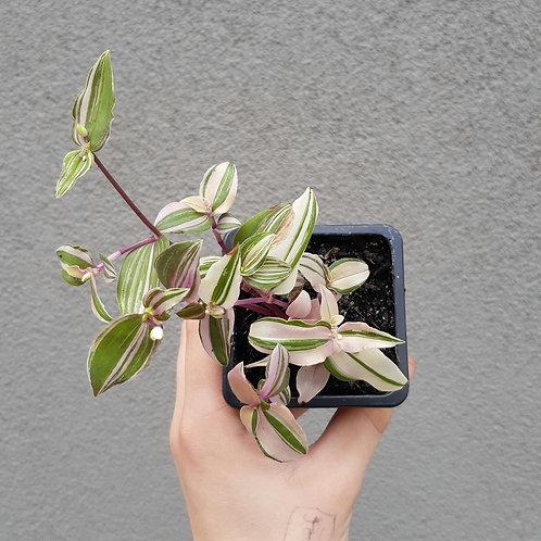 Tradescantia fluminensis 'Tricolour' in 75mm pot