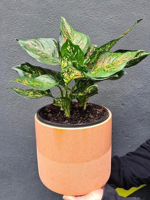 Aglaonema in Blush Ceramic Pot (STAFF PICK)